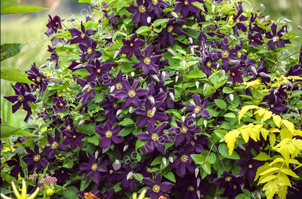Clematis to cover a fence panel