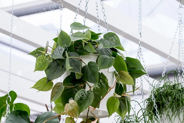 2. Philodendron lá tim