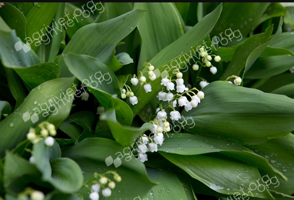 Lily of the valley,Convallaria majalis