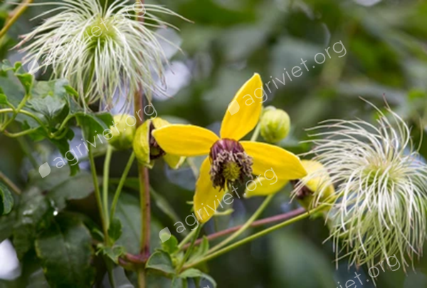 Clematis for an arch or pergola