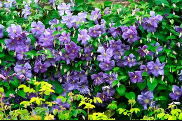 Clematis to cover a large wall