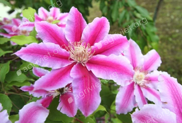 Clematis for shade